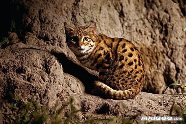 世界十大最稀有的猫 哪种猫咪最稀有 最稀有的宠物猫盘点